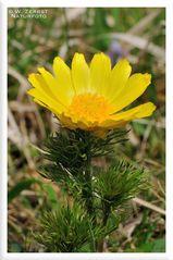 - Frühlings Adonisröschen 3 - ( Adonis vernalis )
