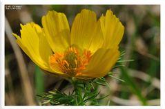 - Frühlings Adonisröschen 4 - ( Adonis vernalis )