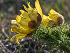 Frühlings-Adonisröschen (Adonis vernalis)