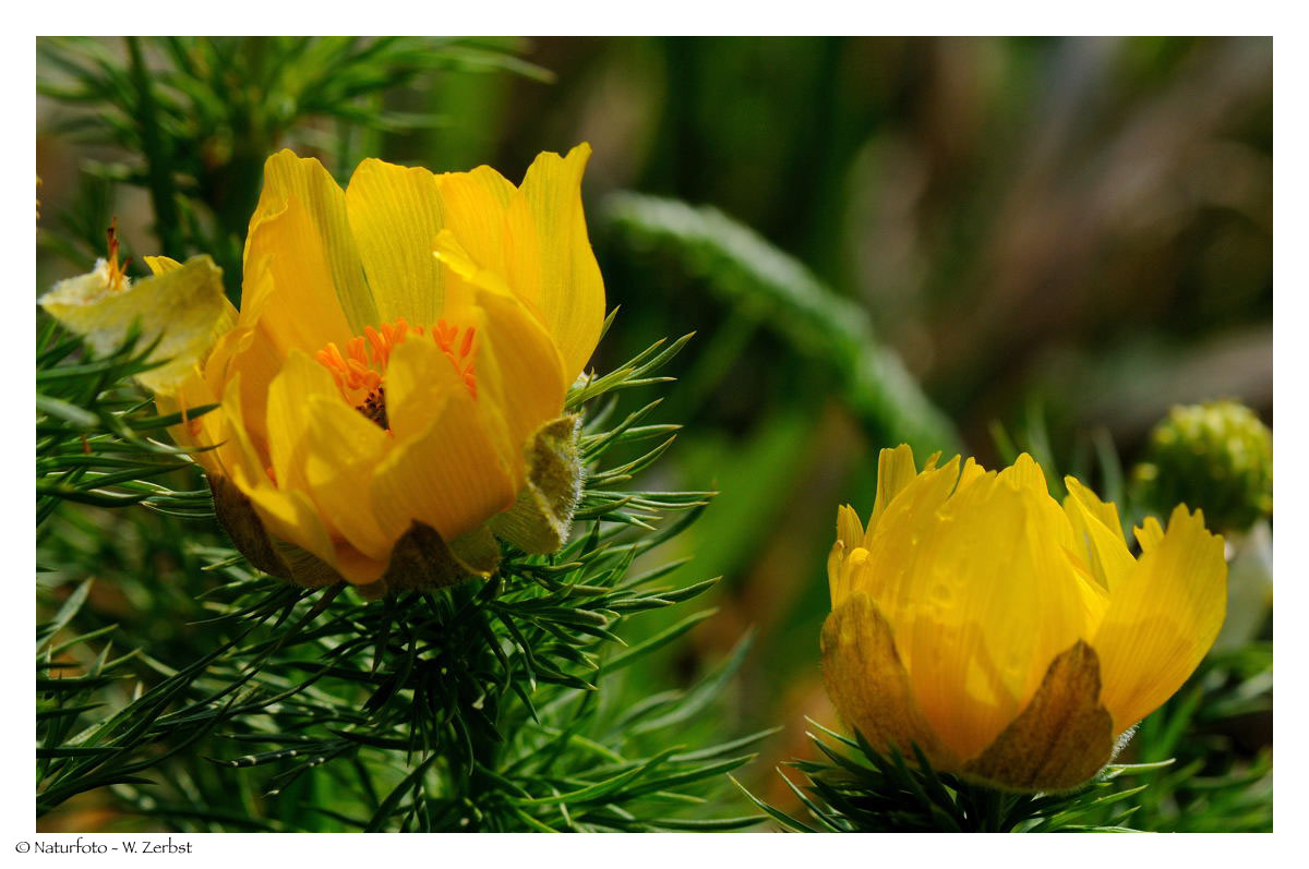 ---- Frühlings Adonisröschen ---- ( Adonis vernalis )