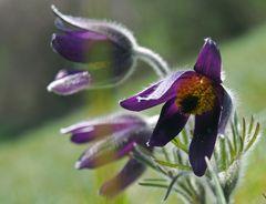Frühlings Anemone