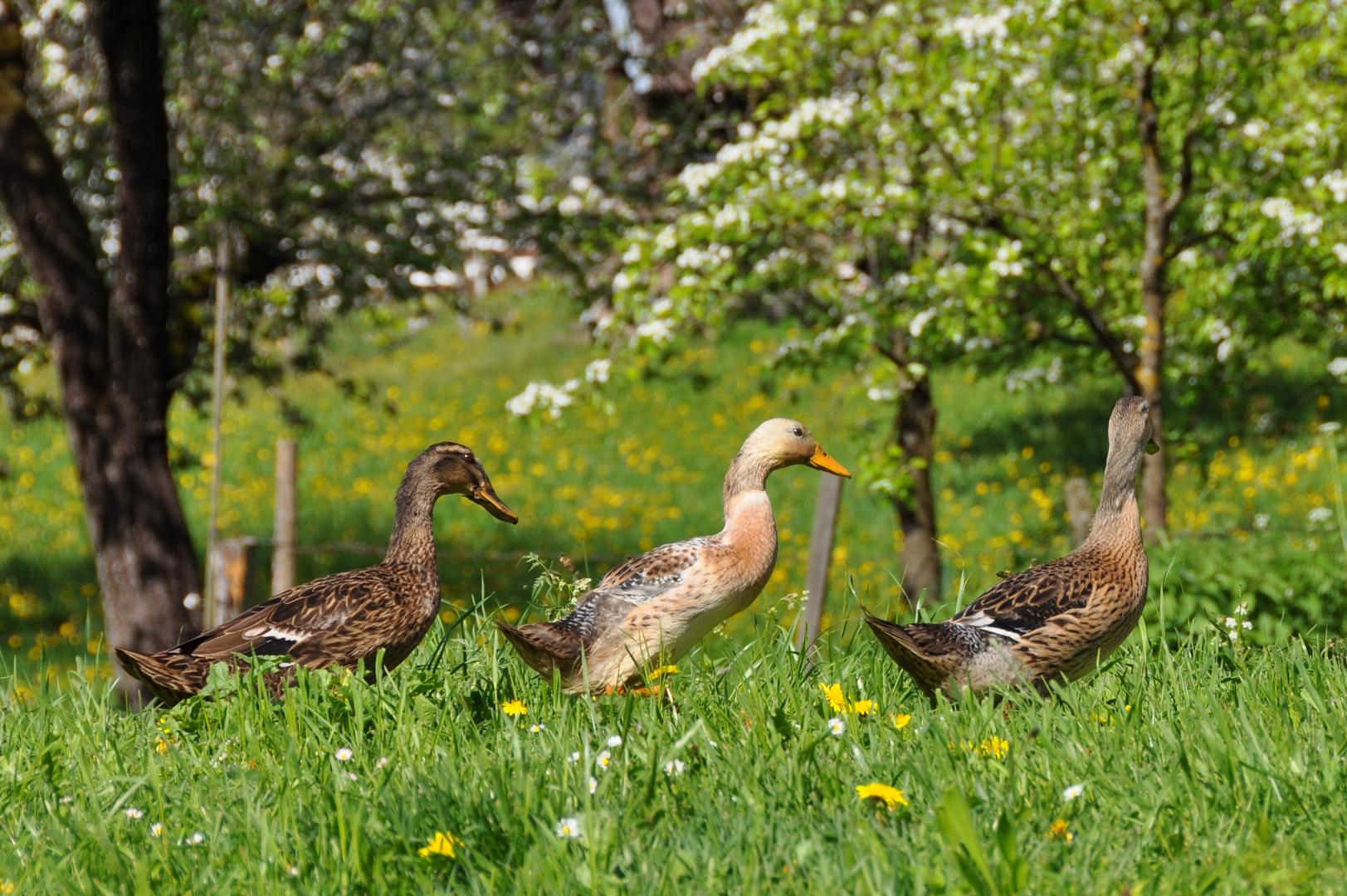 Frühlings-Entenmarsch