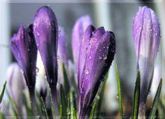 Frühlings - Farbstudie 'Violett'