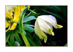 Frühlings-Glocken im Winter