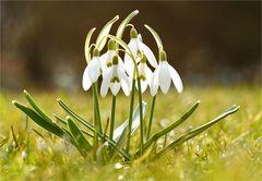 Frühlings - Glöckchen