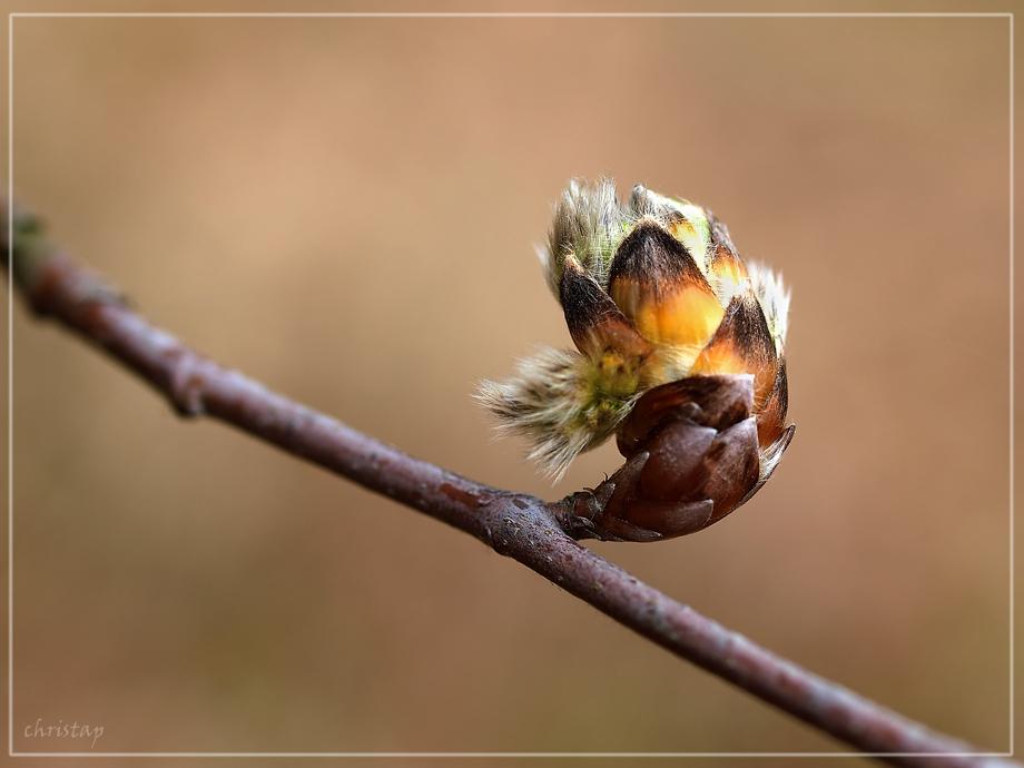 Frühlings-Knospen