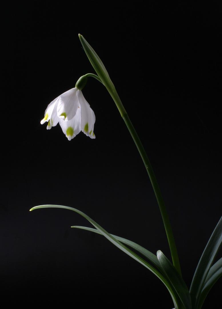 Frühlings Knotenblume