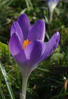 Frühlings Krokus