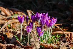 Frühlings-Krokusse in Familie