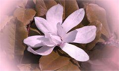 Frühling`s Magnolia