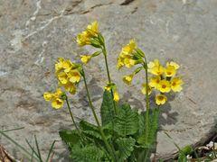 Frühlings-Schlüsselblume (Primula veris) - Primevère officinale.