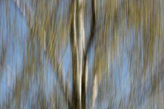 Frühlings-Stimmung Birkenwald