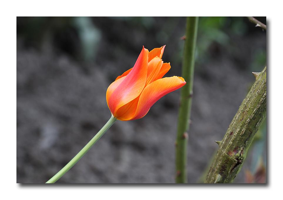 Frühlings-Tulpen-Leuchten