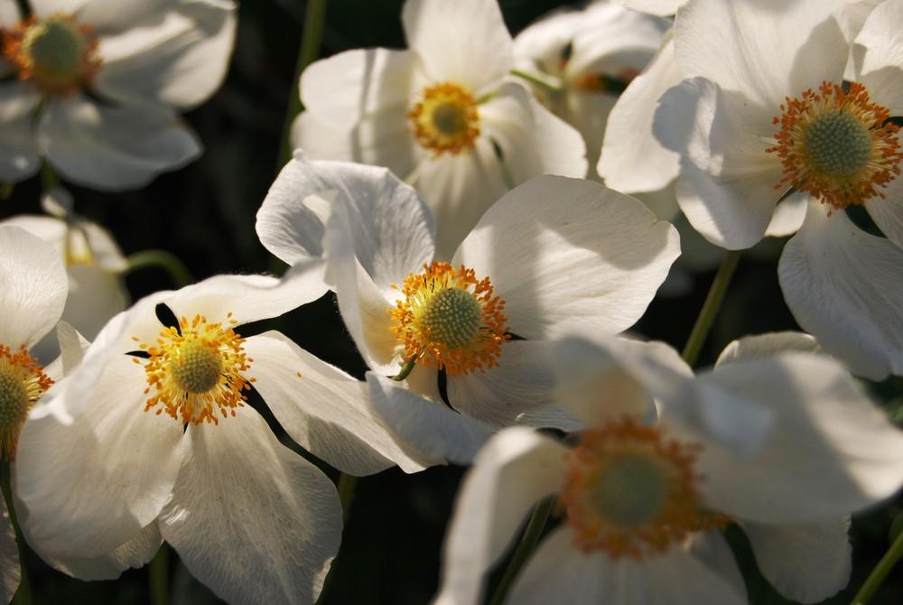 Frühlingsanemone