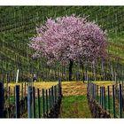 Frühlingsanfang in den Weinbergen