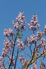 Frühlingsblüher - Paulownia tomentosa