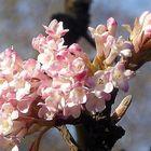 Frühlingsblüten am Strauch in der Sonne