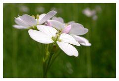 Frühlingsblume die jeder kennt.