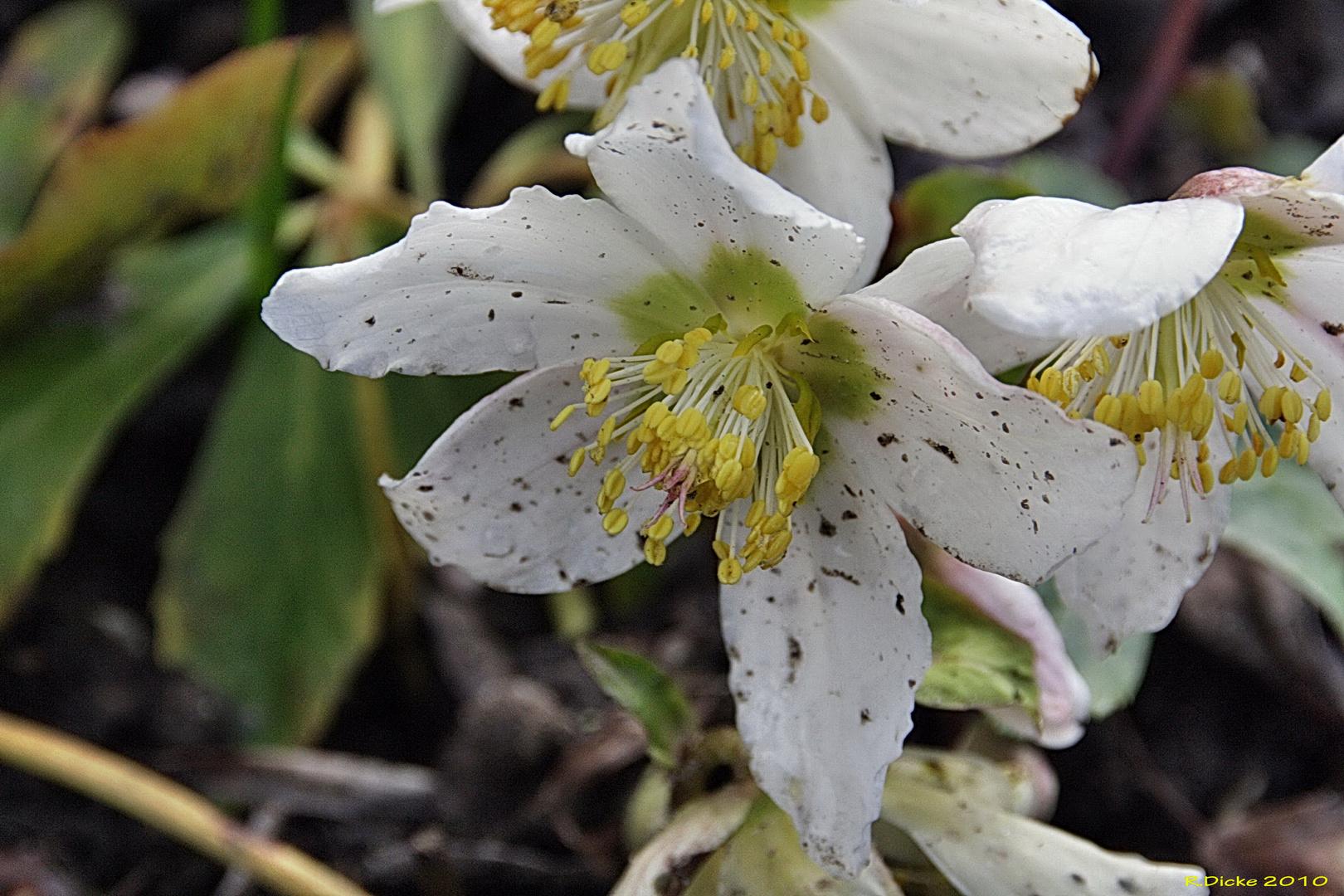 Frühlingsblume2
