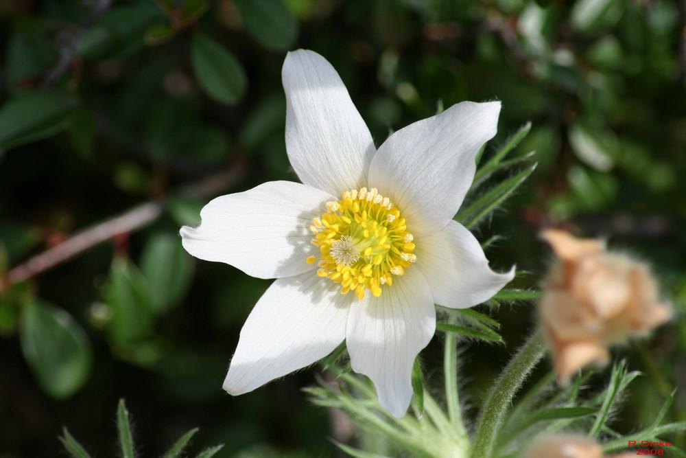 Frühlingsblume4