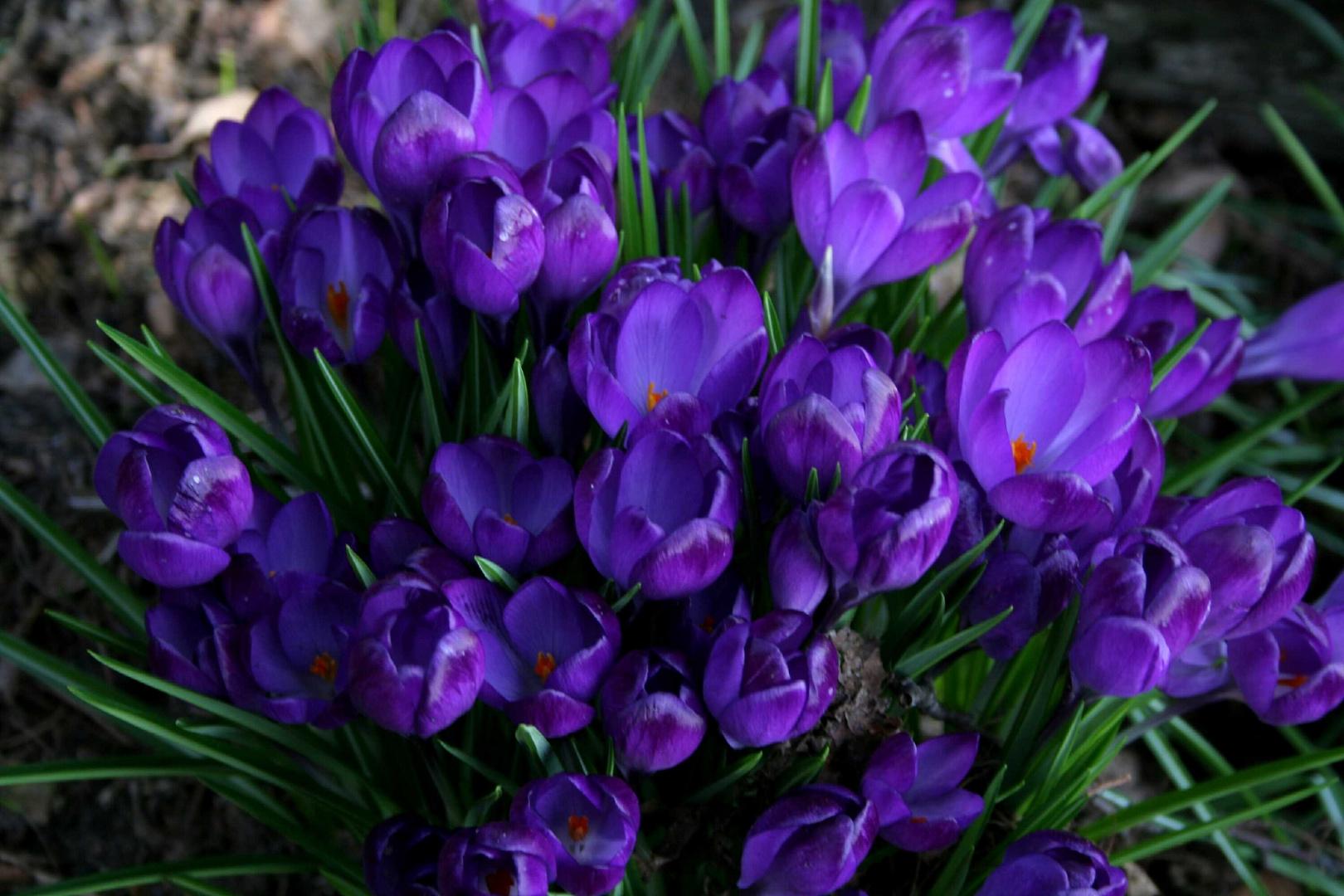 Frühlingsblumen -15 Foto & Bild | pflanzen, pilze ...