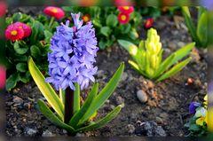 Frühlingsblumen....