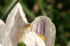 Frühlingsbote (2)