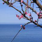 Frühlingsbote bei Banyalbufar