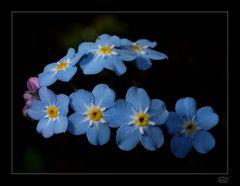 Frühlingsbote in Hellblau