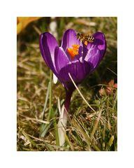 Frühlingsbote mit Besucher