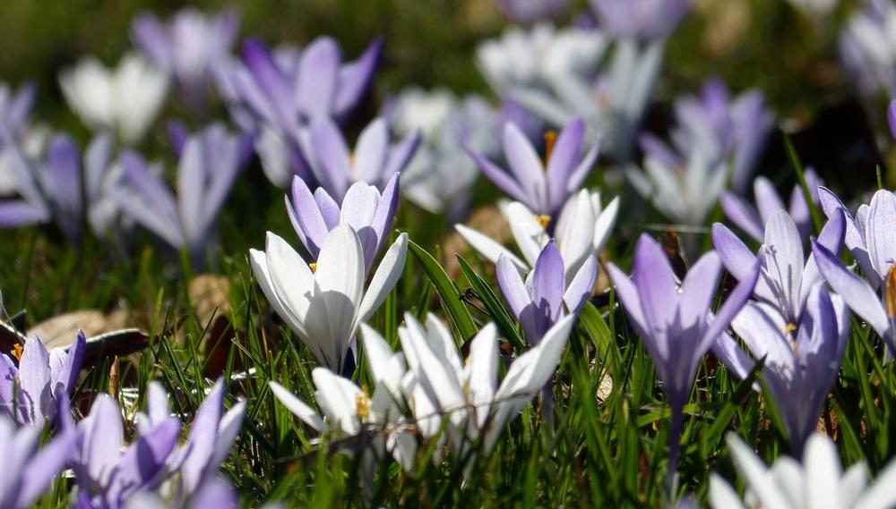 Frühlingsboten III