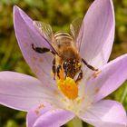 Frühlingsboten Krokus mit Biene