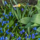 Frühlingsboten XI