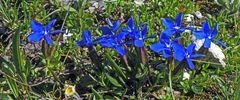 Frühlingsenzian in den Dolomiten nahe der Drei Zinnen