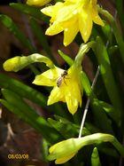 Frühlingserwachen, Blume mit Biene