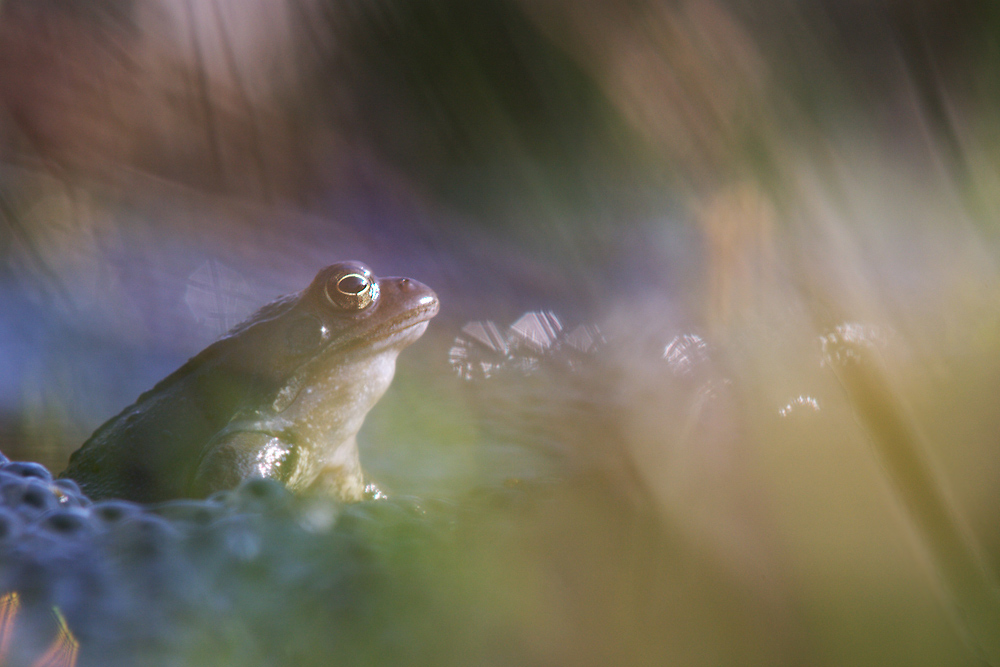 Frühlingsfrosch