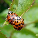 Frühlingsgefühle bei den Marienkäfern
