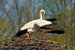 Frühlingsgefühle (Fotoserie von einem Storchenpaar, Bild 2)