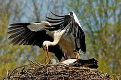 Frühlingsgefühle (Fotoserie von einem Storchenpaar, Bild 3)