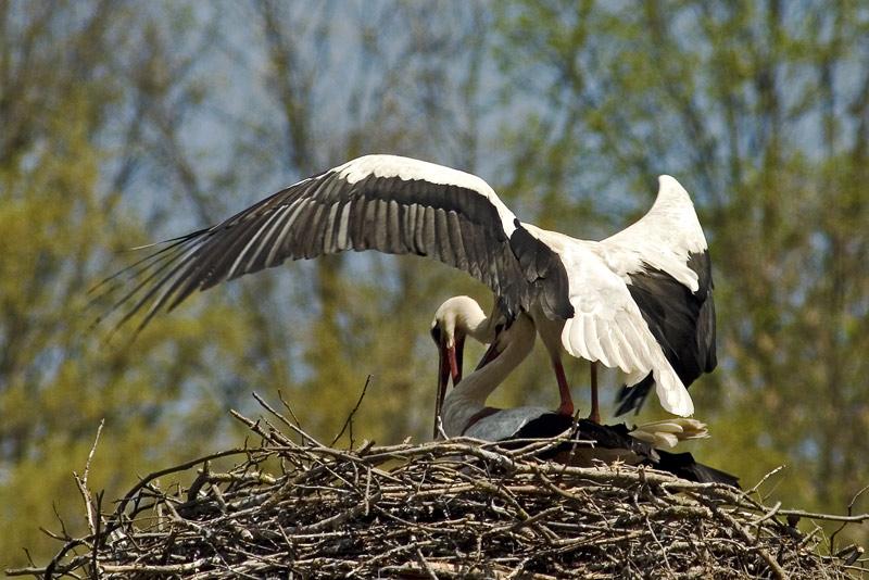Frühlingsgefühle (Fotoserie von einem Storchenpaar, Bild 4)