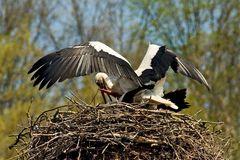 Frühlingsgefühle (Fotoserie von einem Storchenpaar, Bild 5)