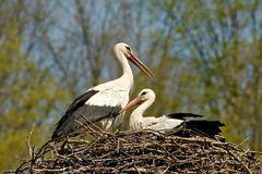 Frühlingsgefühle (Fotoserie von einem Storchenpaar, Bild 6)