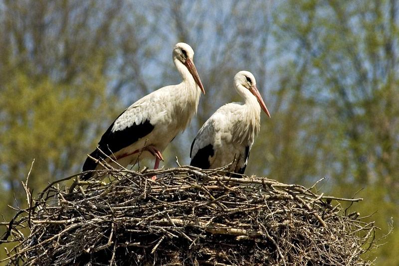 Frühlingsgefühle (Fotoserie von einem Storchenpaar im Fotohome Ordner, Bild 1)