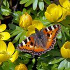 Frühlingsgefühle im Februar: Kleiner Fuchs (Aglais urticae) - Petite tortue en février!