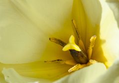 Frühlingsgelb - Tulpe aus dem Garten