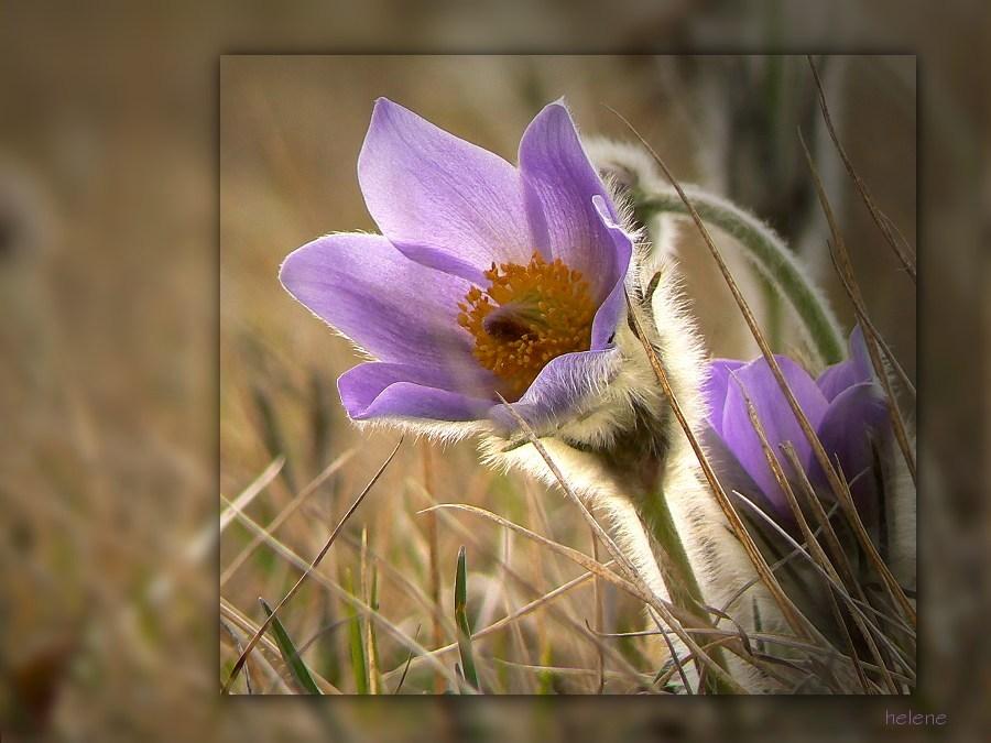 Frühlingsglöckchen