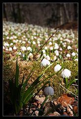 Frühlingsknoten
