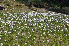 Frühlingskrokus zu Millionen