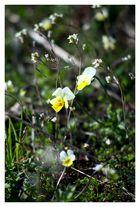 Frühlingspflanzen auf dem Wildstein