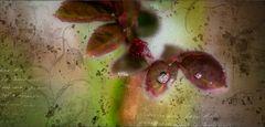 frühlingsrosenblättertropfen